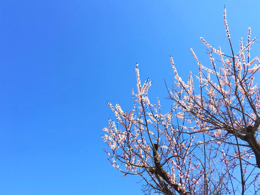 梅の花と青空