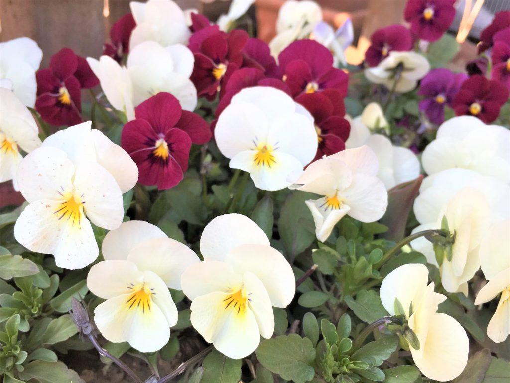 白と紫のビオラ(3月)