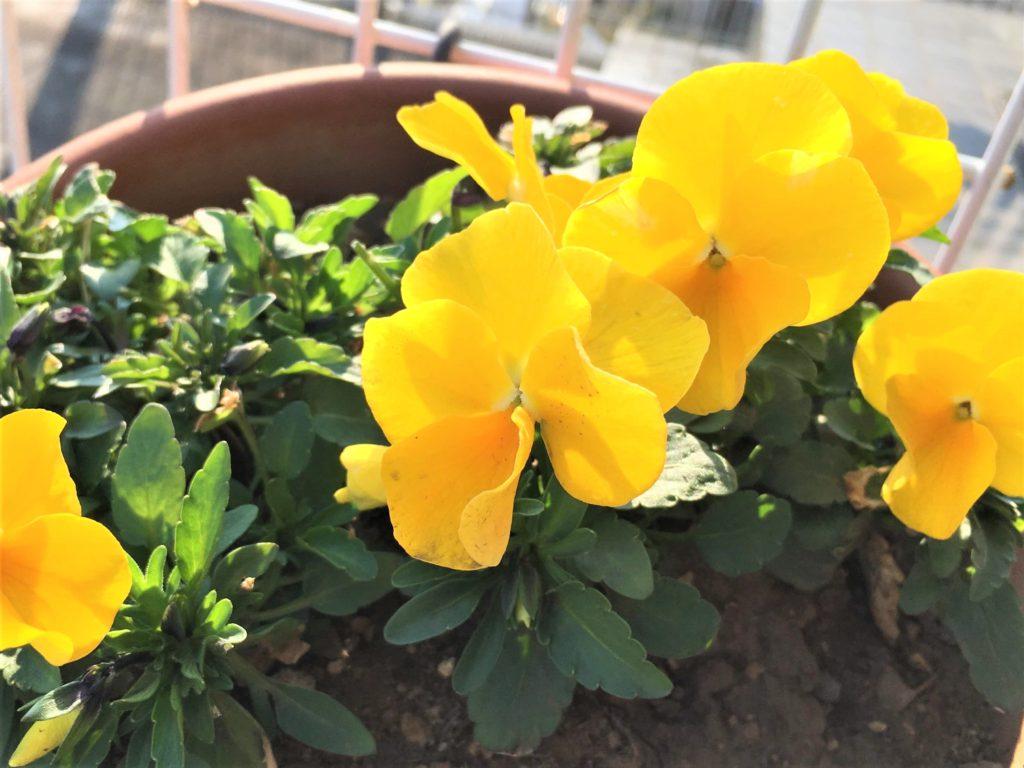黄色のビオラ2(3月)