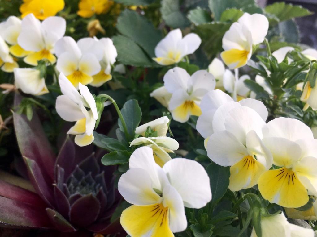viola(May)2