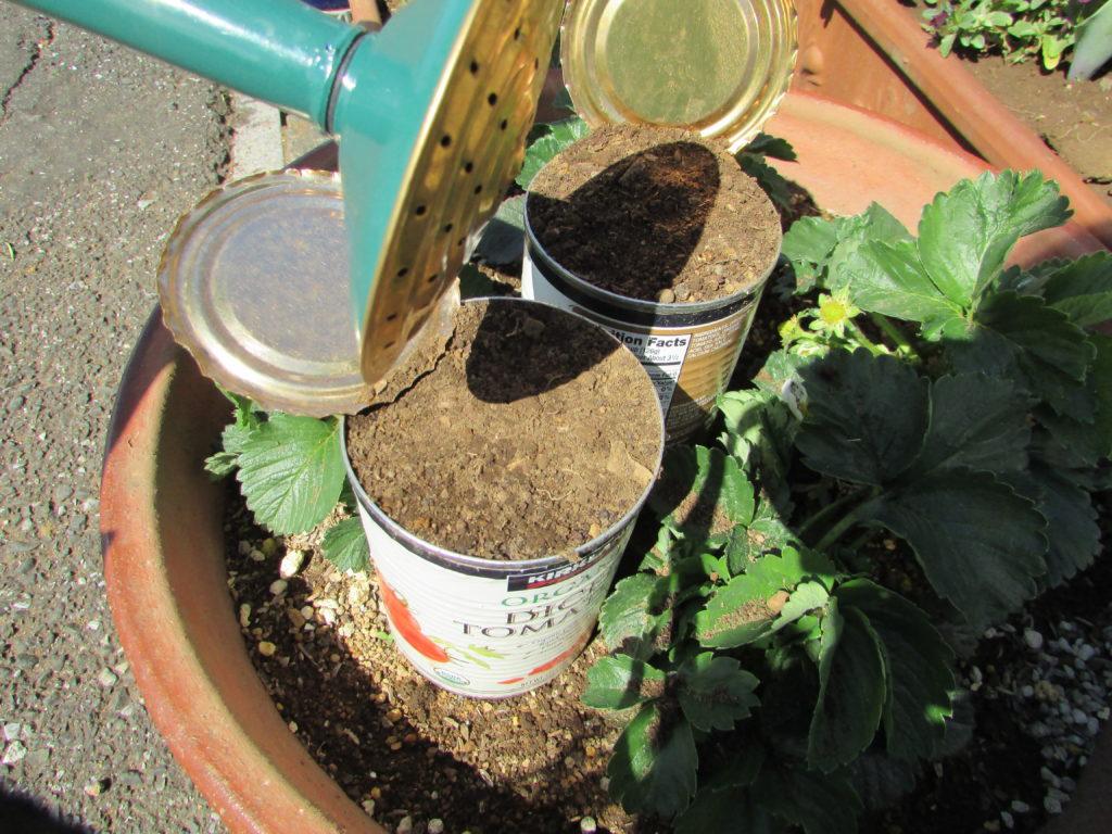 I sowed seeds of rucola3