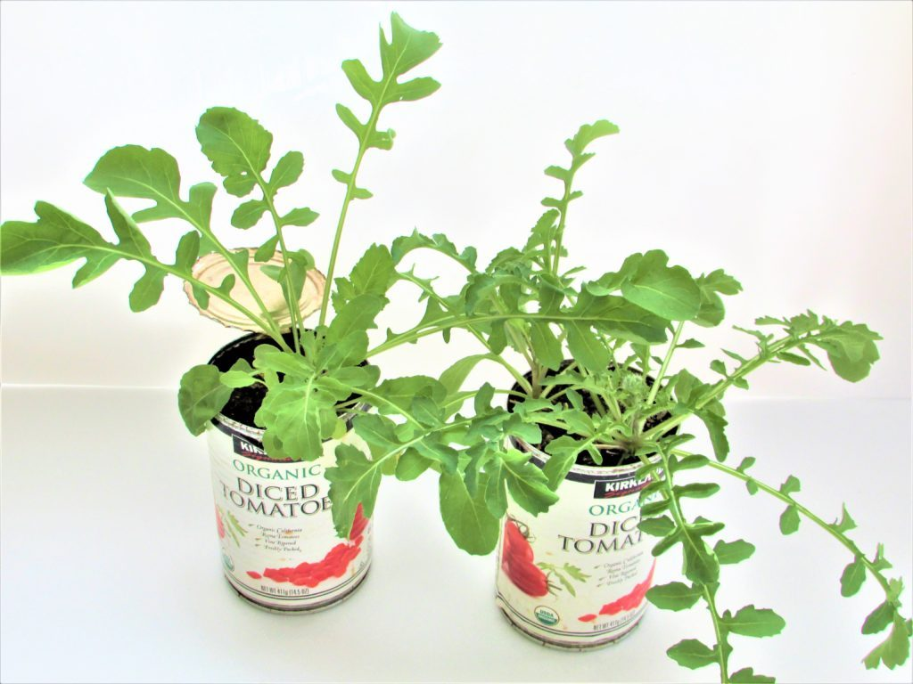 We grow rucola with empty can