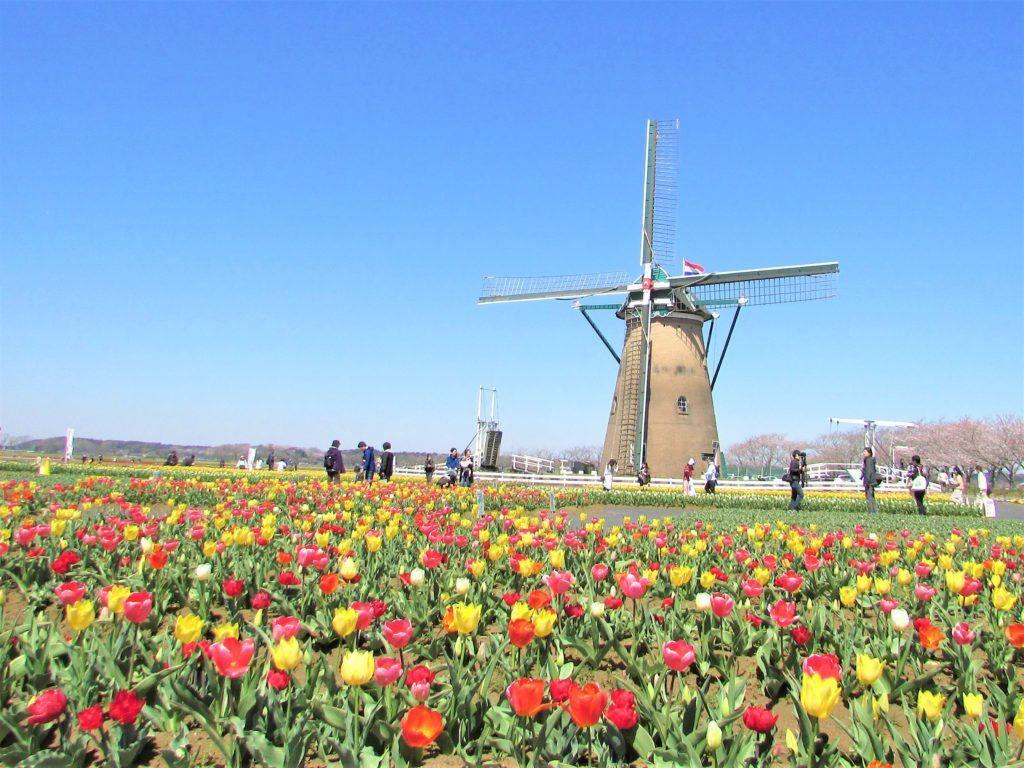 sakura tulip festa2019
