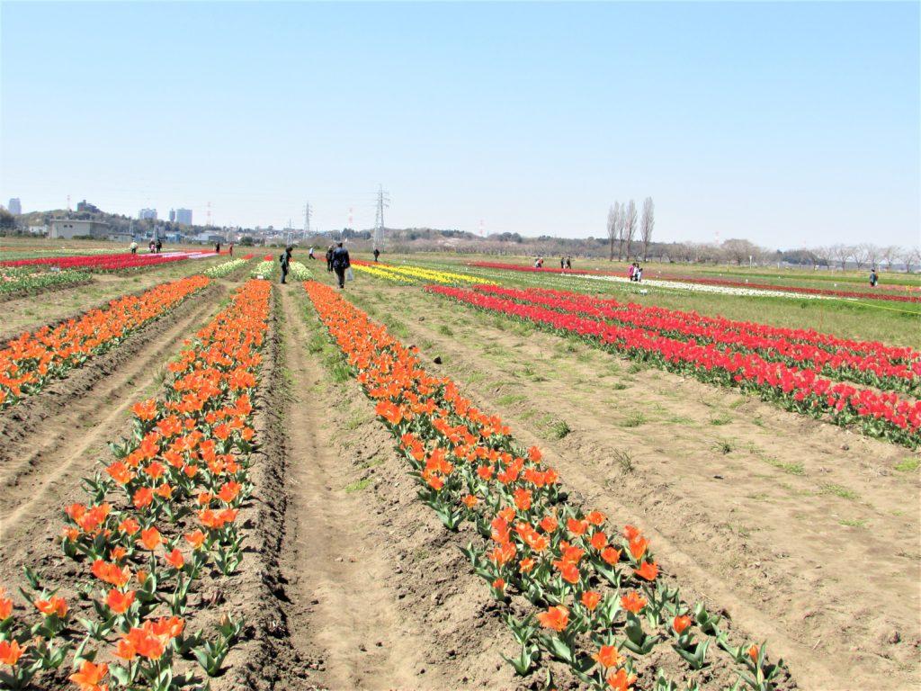 sakura tulip festa2019(11)