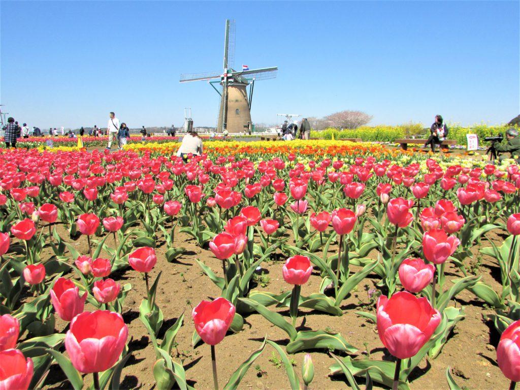 sakura tulip festa2019(13)