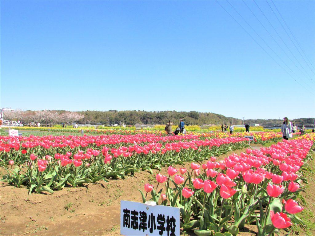 sakura tulip festa2019(2)