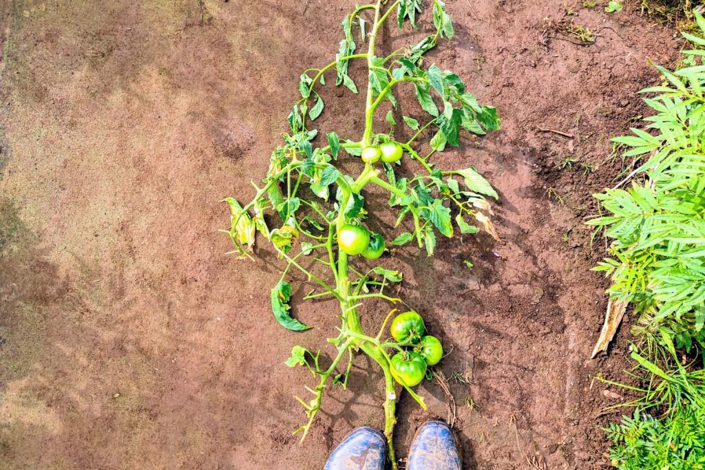 20210617_tomato