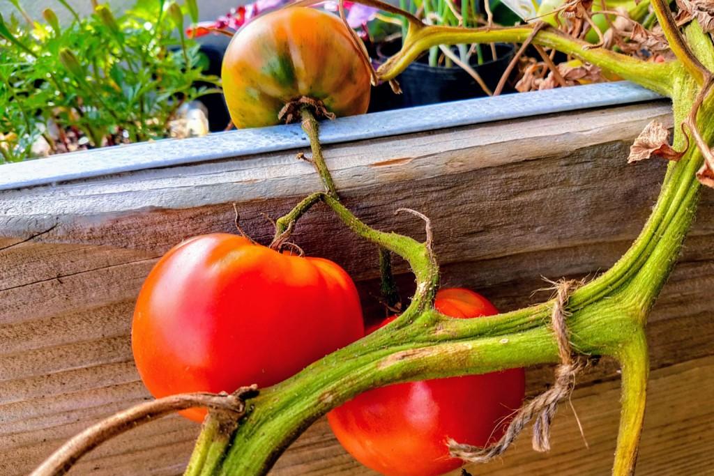 20210629_tomato (★)