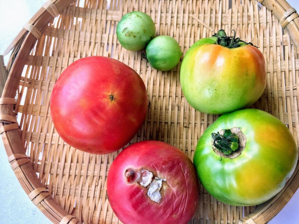 tomato_8