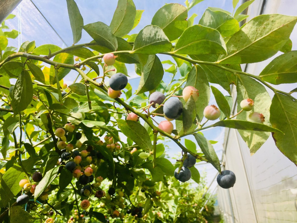 blueberry (3)