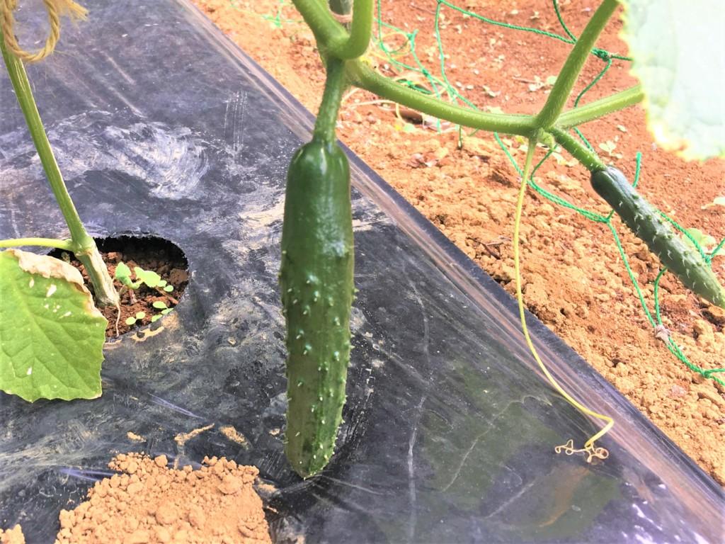 sharebatake-cucumber2