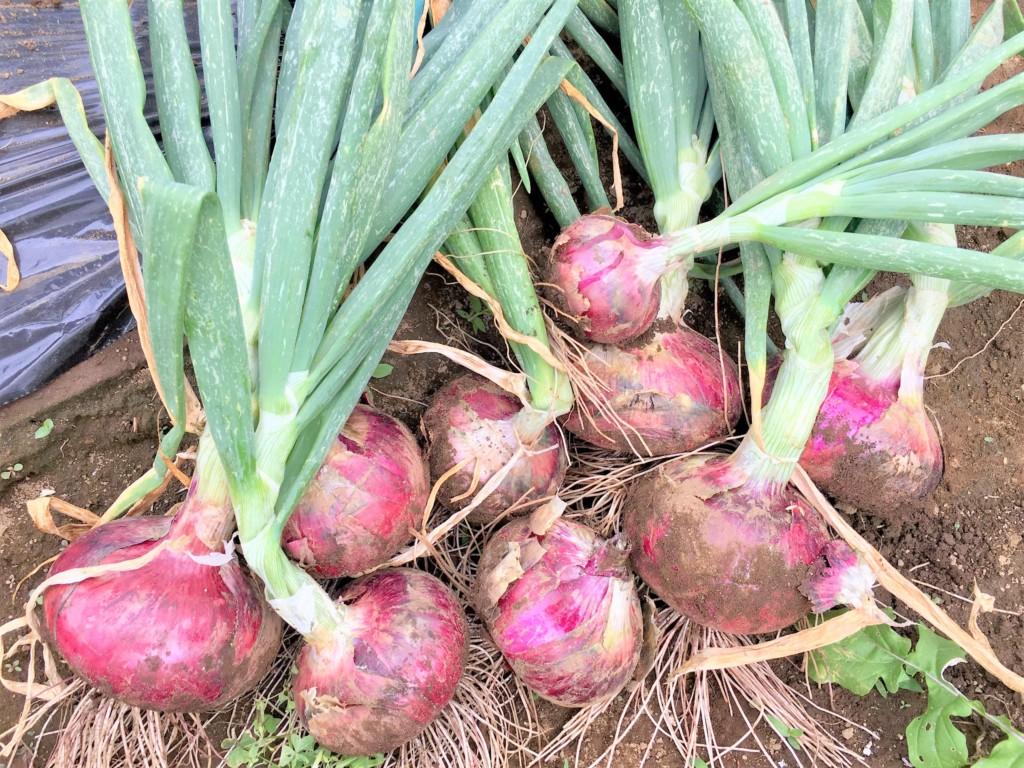 sharebatake-onion