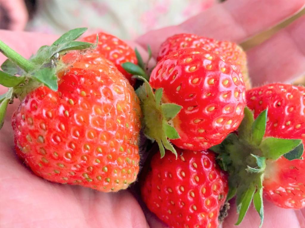 sharebatake-strawberry