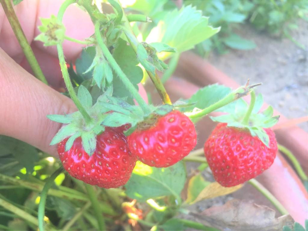 sharebatake-strawberry2