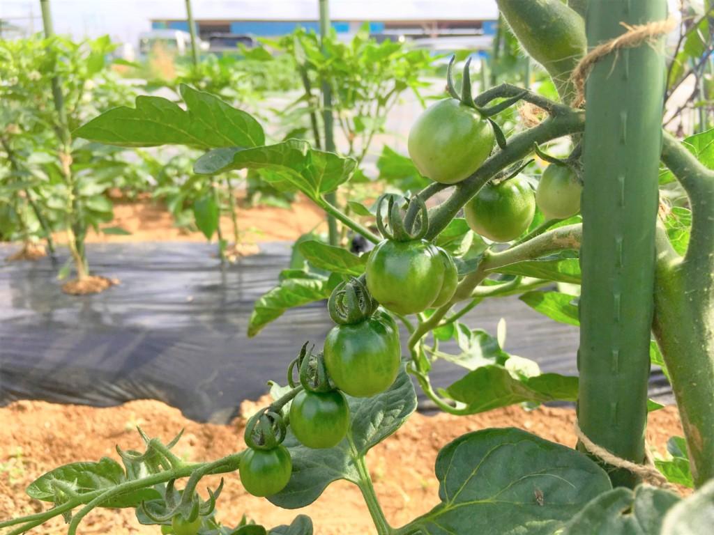 sharebatake,tomato2