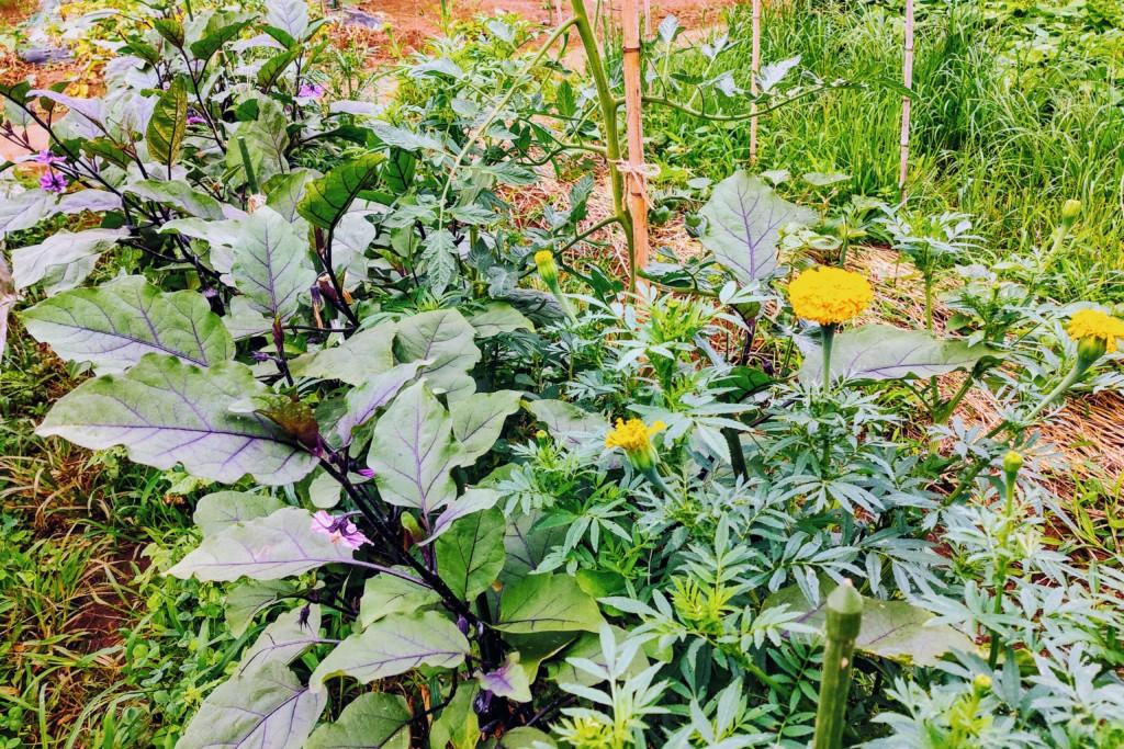 nasu,eggplant,marigold,companionplants