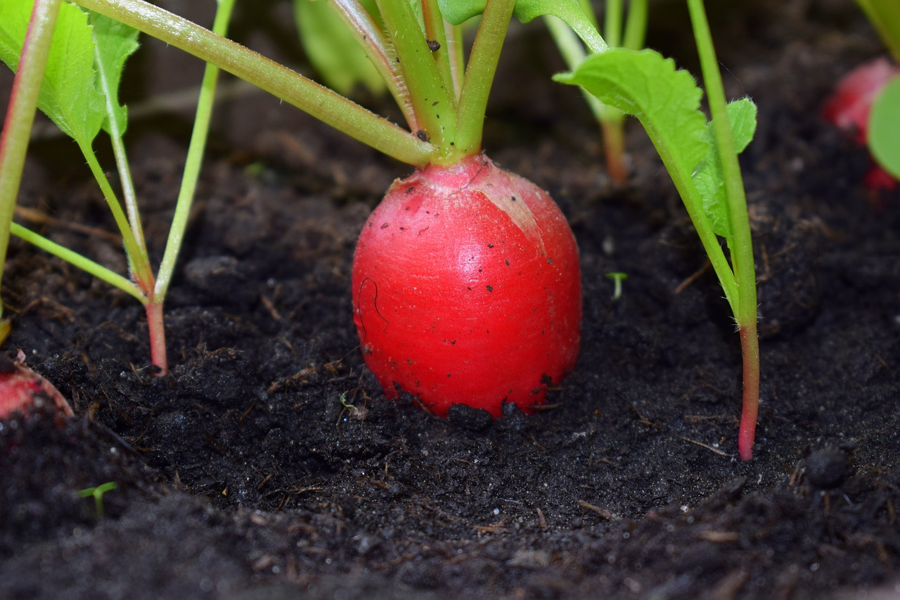 radish,mix-leafy vegetables