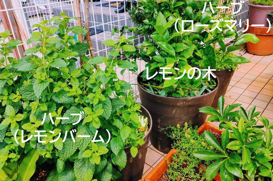 20210622_lemon-2★