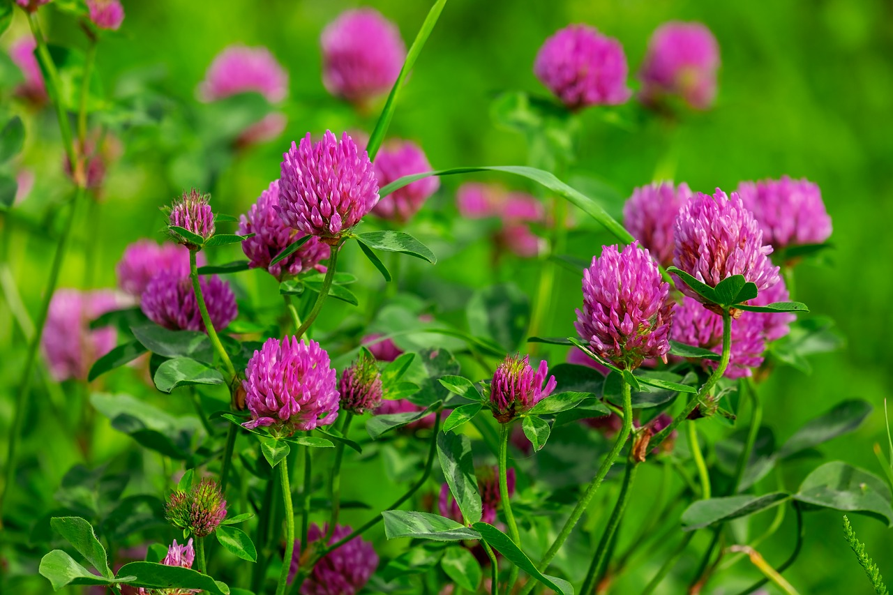 Redclover,bunkerplants