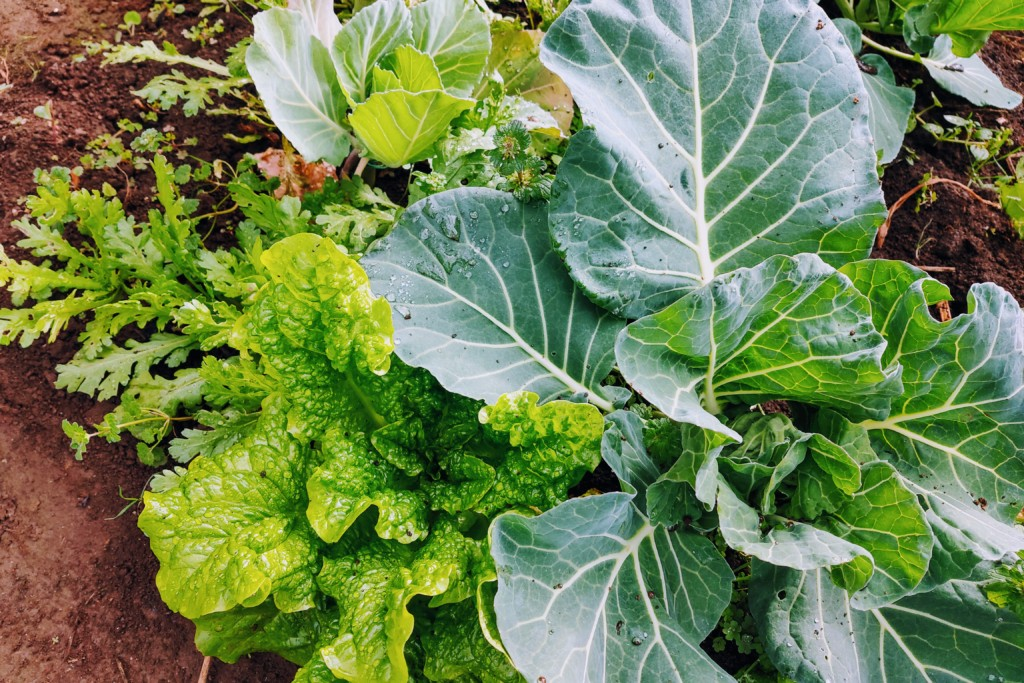 cabbage,lettuce,syungiku