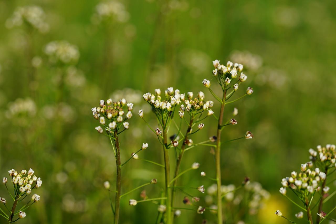 Capsella, Bursa,weed-companionplants