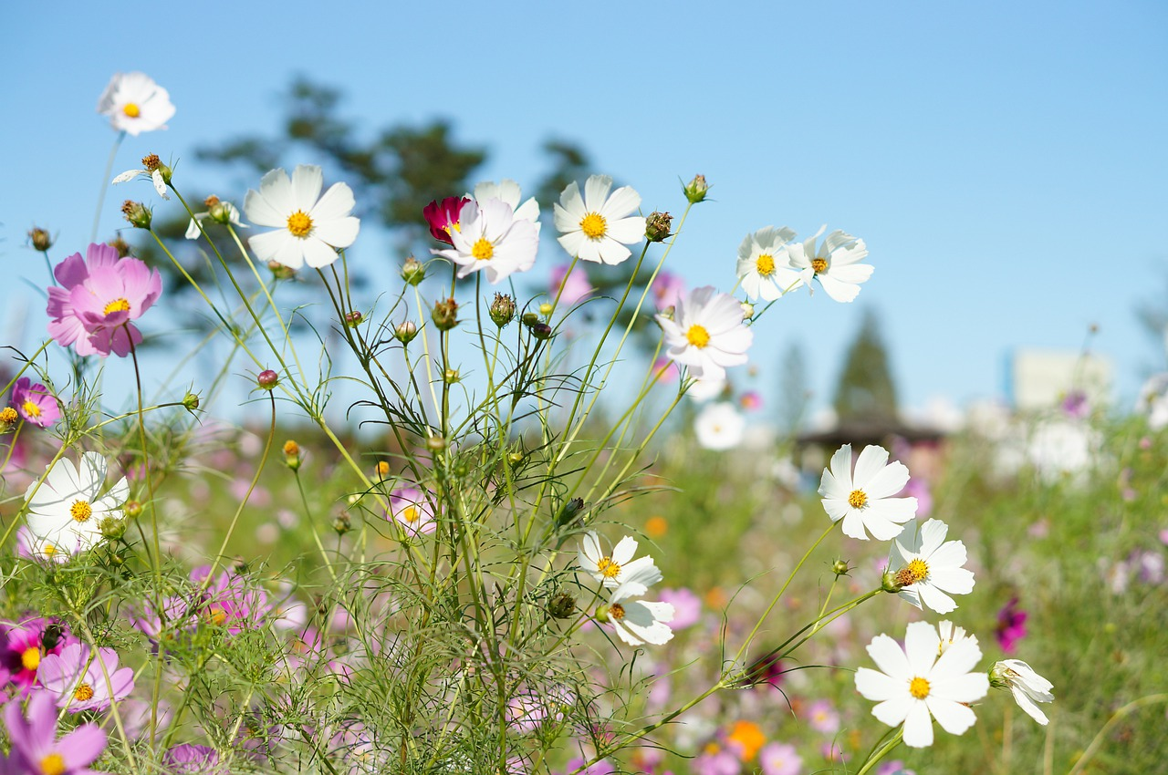 Cosmos,bunkerplants