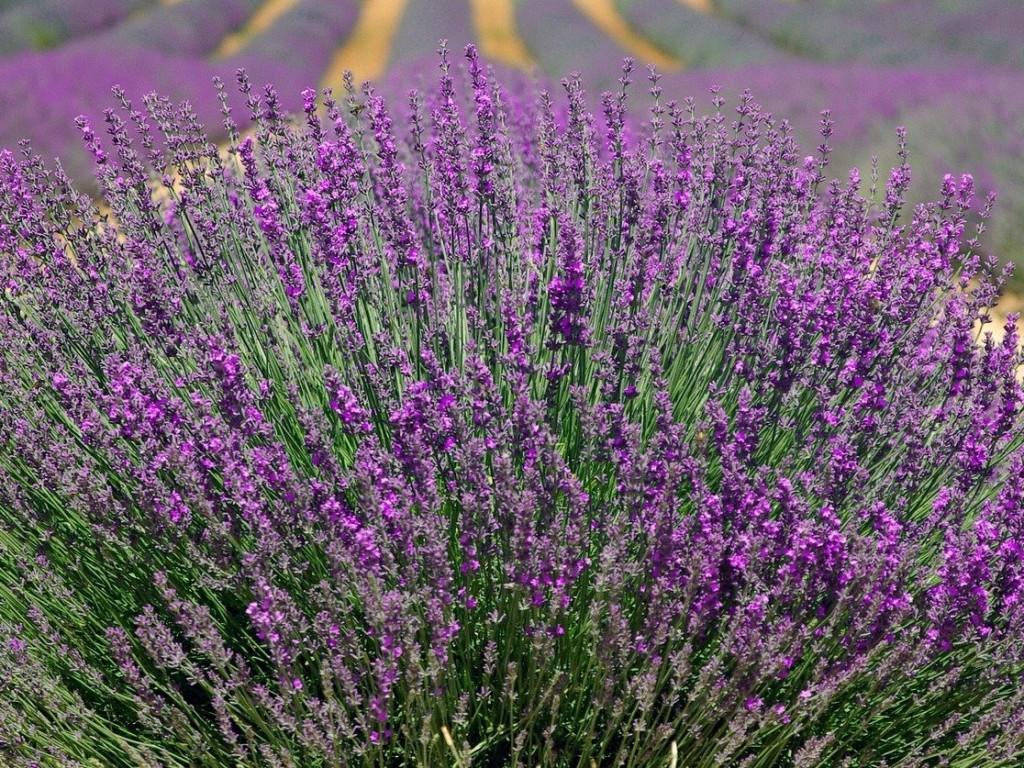lavender-2