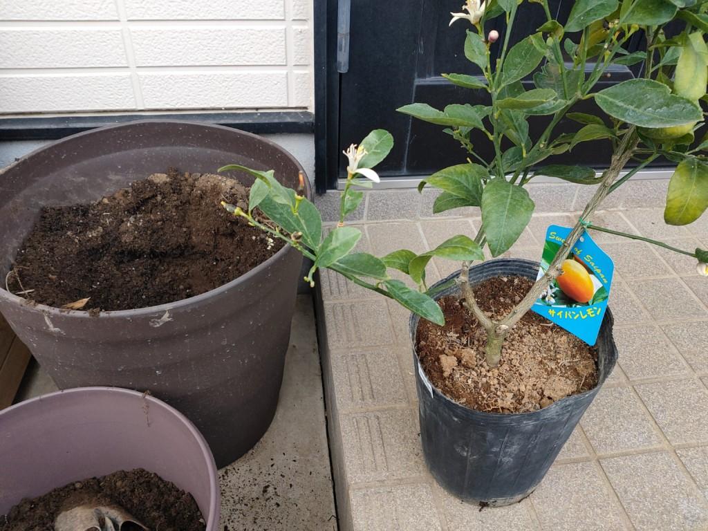 lemon-companionplants (2)