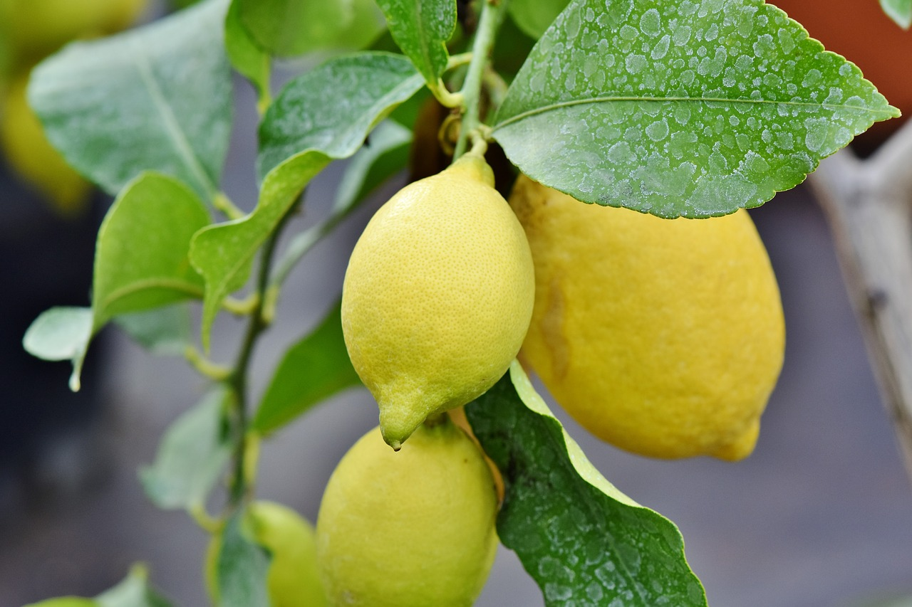 Lemon,companionplants