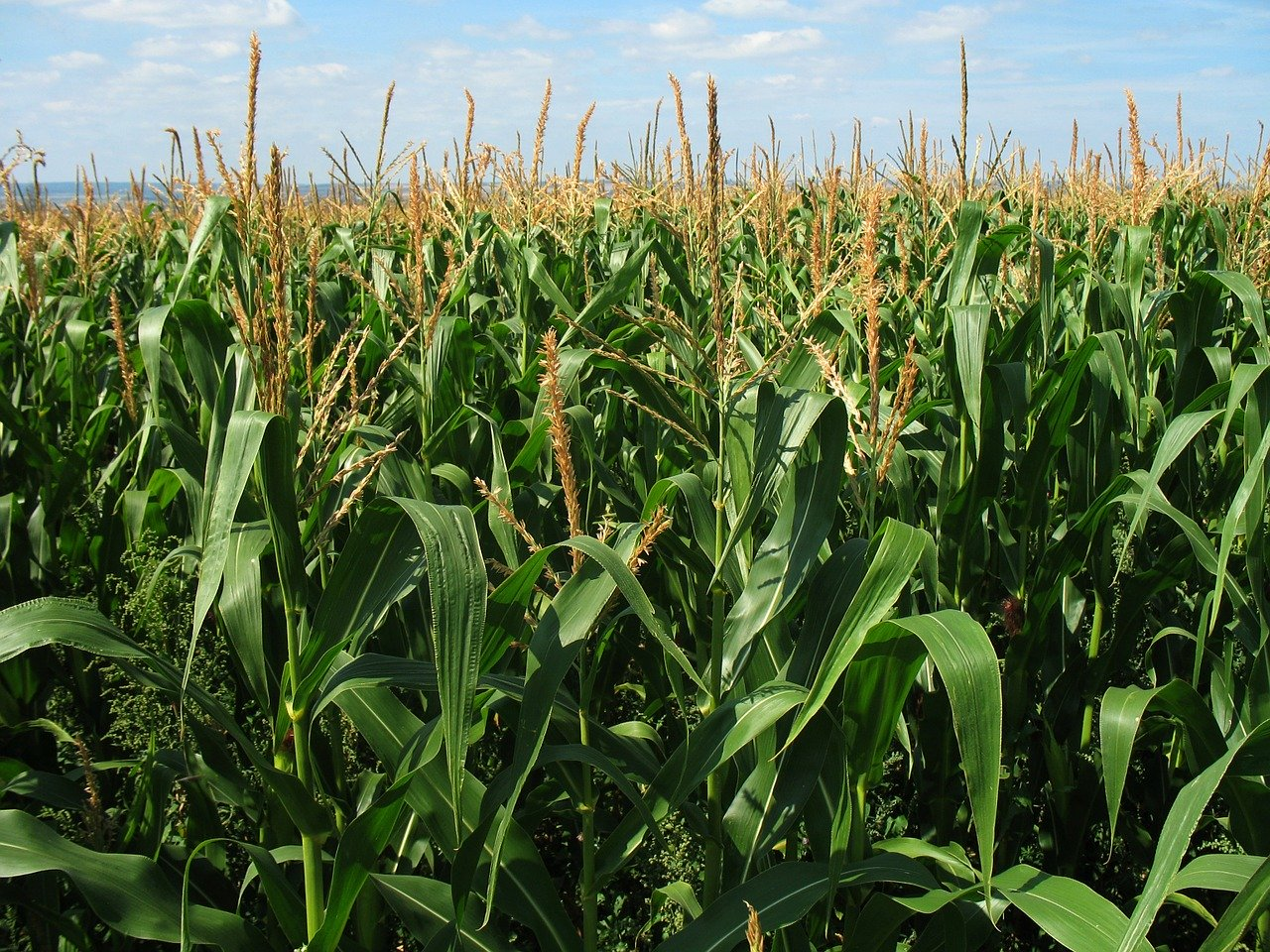 Maize,corn,bunkerplants