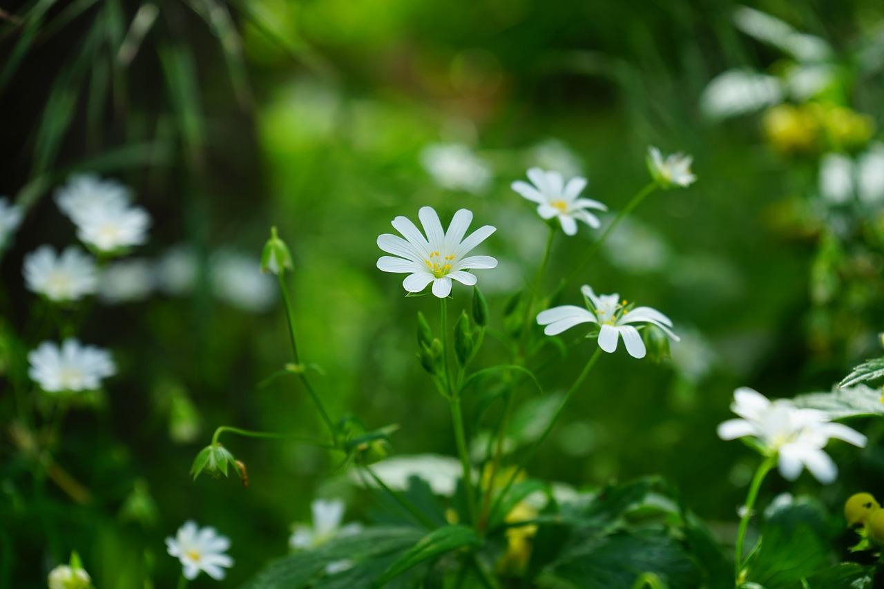 weed-companionplants,Stellaria, Media