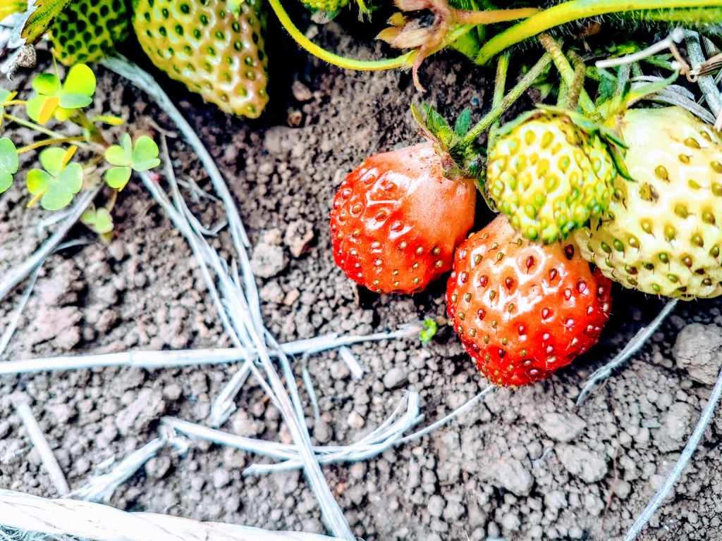 strawberry(19)