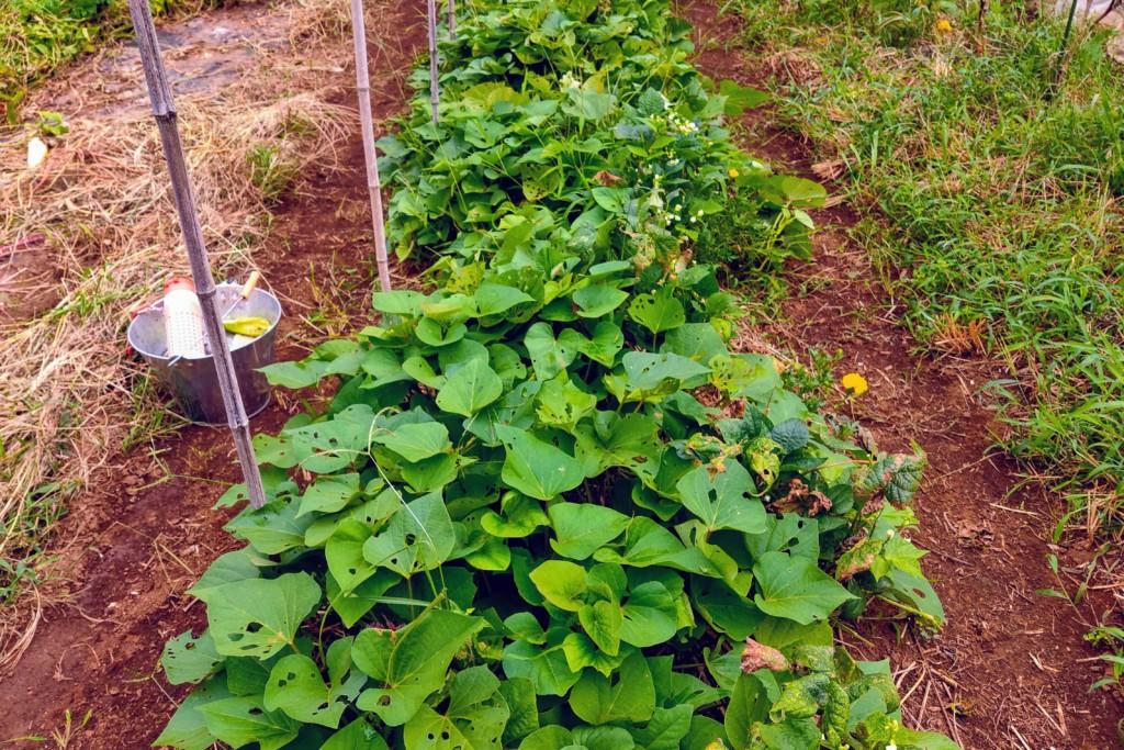 202100812_beniharuka,sweetpotato,satsumaimo (★)
