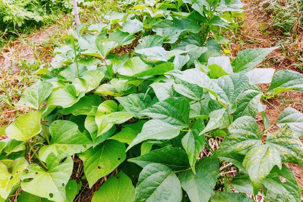 20210721_beniharuka,sweetpotato,satsumaimo,ingen★