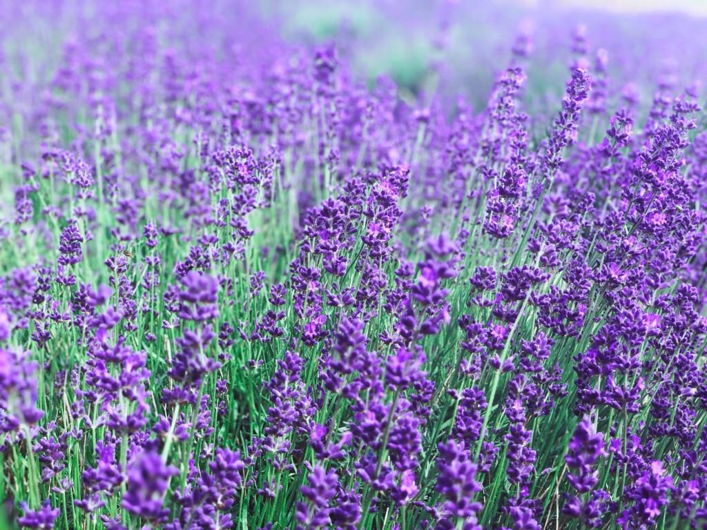 Labandin-lavender