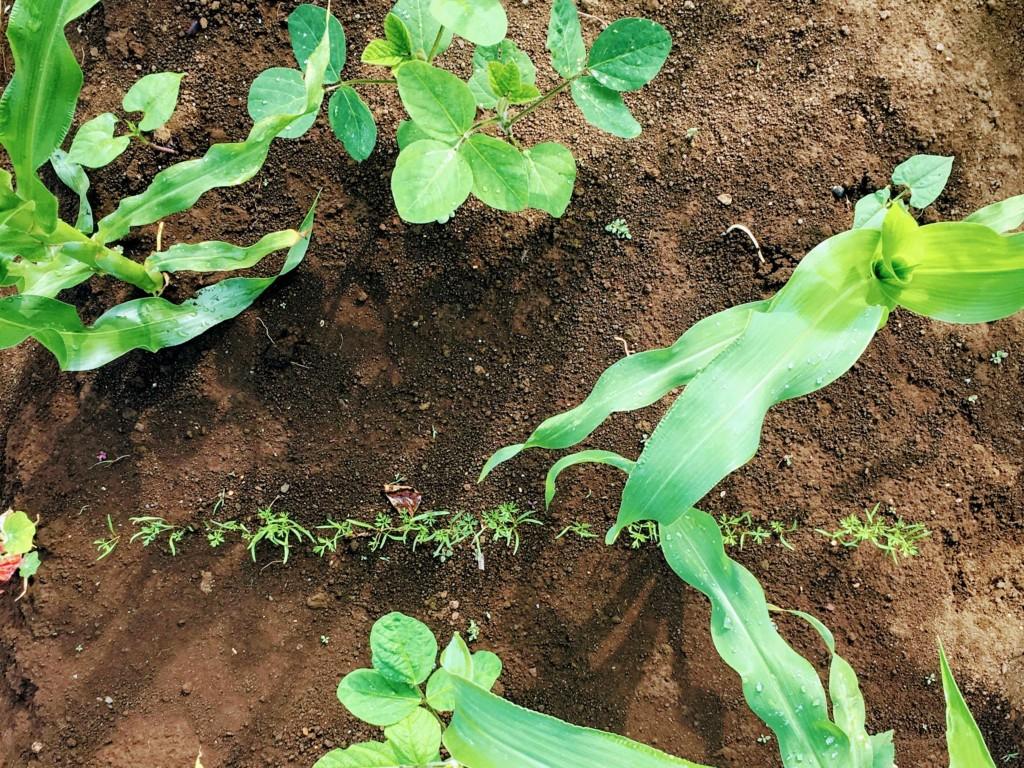carrot,edamame,companionplants(20200608)