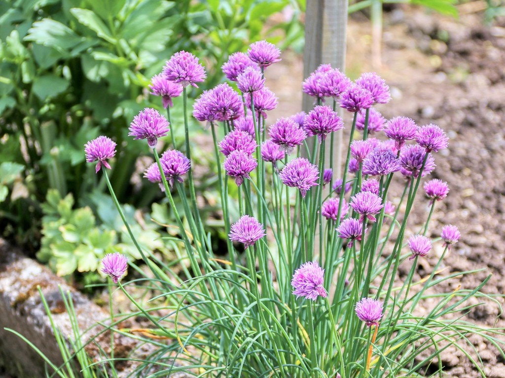 chives-8