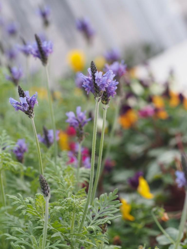 lace-lavender