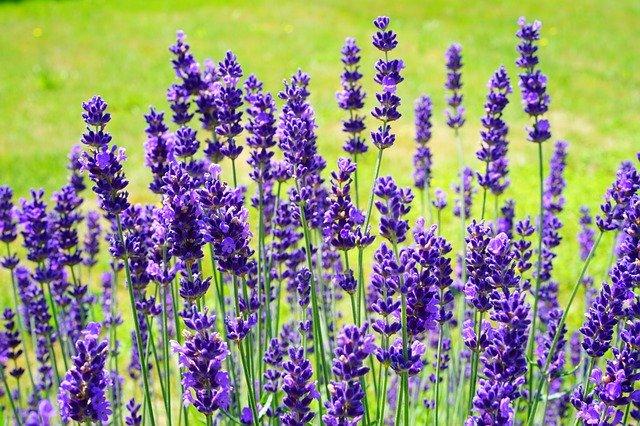 lavender-lavancepurple
