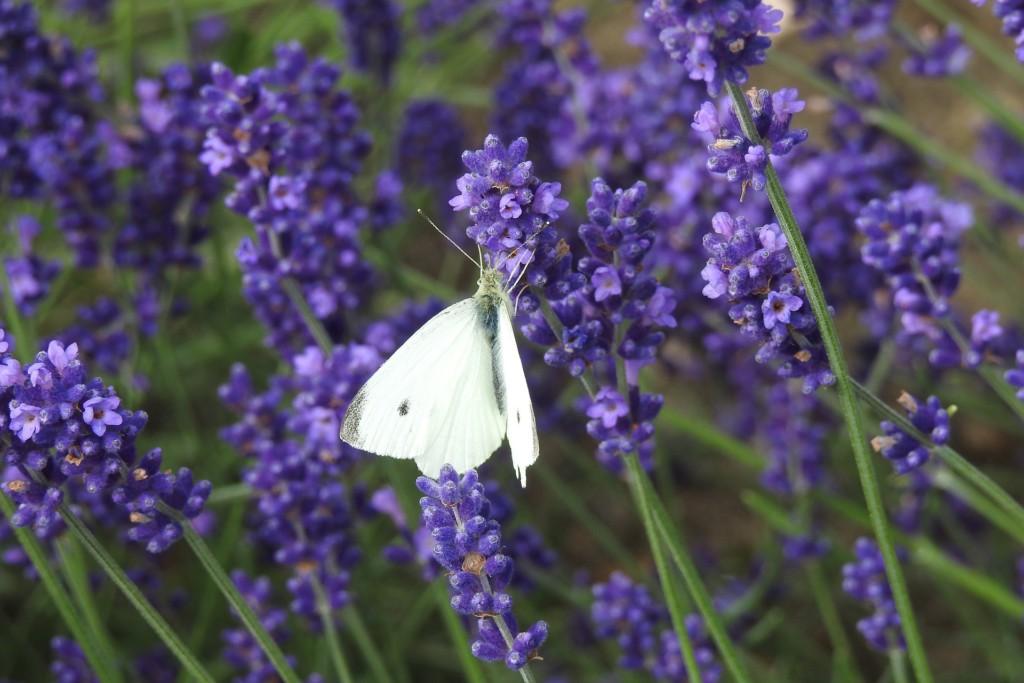 lavender-sentivia
