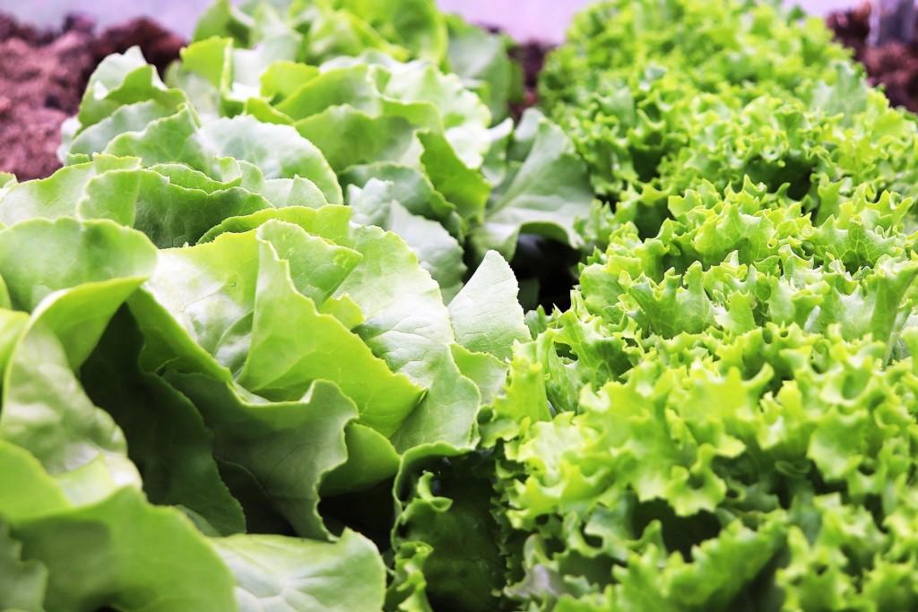lettuce,sanchu (13)