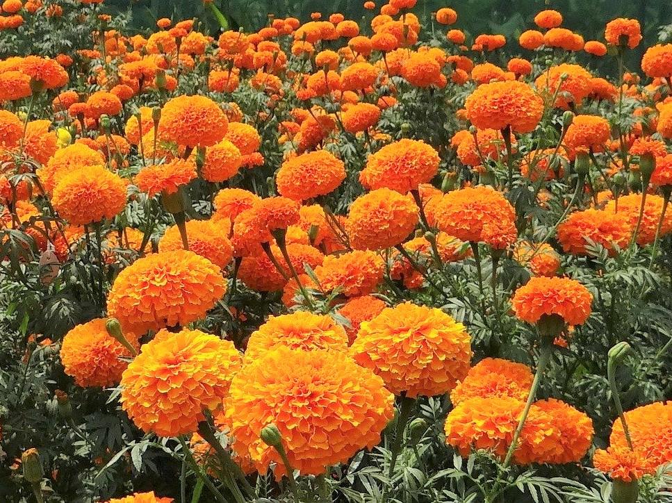 marigold afrikan