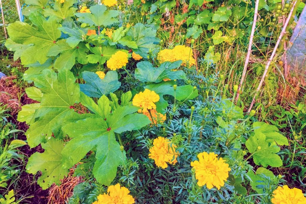okra,marigold,companionplants (★)