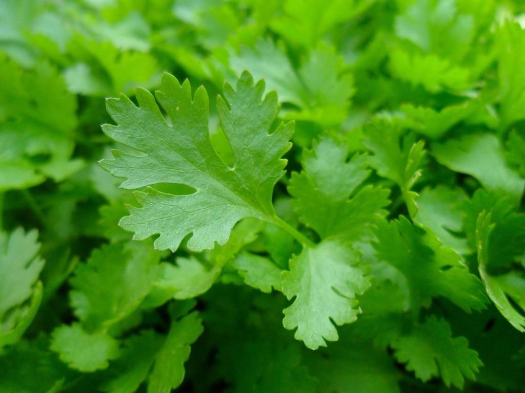 parsley4