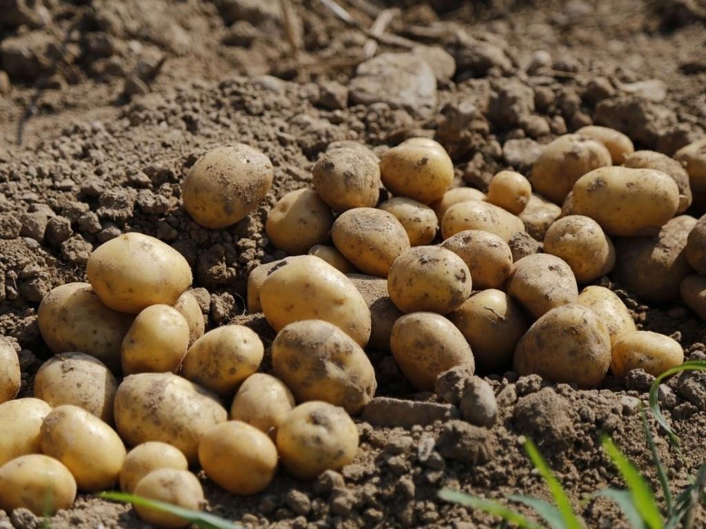 potato-4