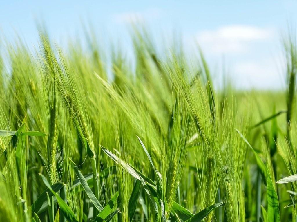 barley,oomugi
