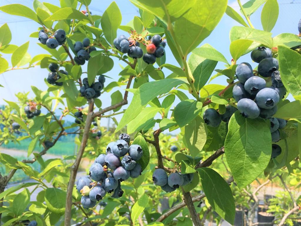 blueberry0