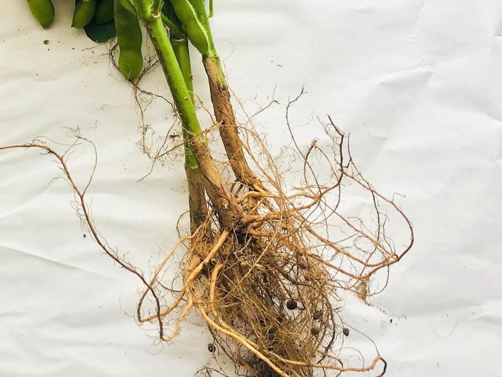 捨てないで!枝豆収穫後の処理方法|根・茎・葉を後作野菜に有効利用 ...