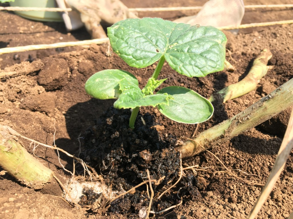 growing-cucumber-2020.4 (1)