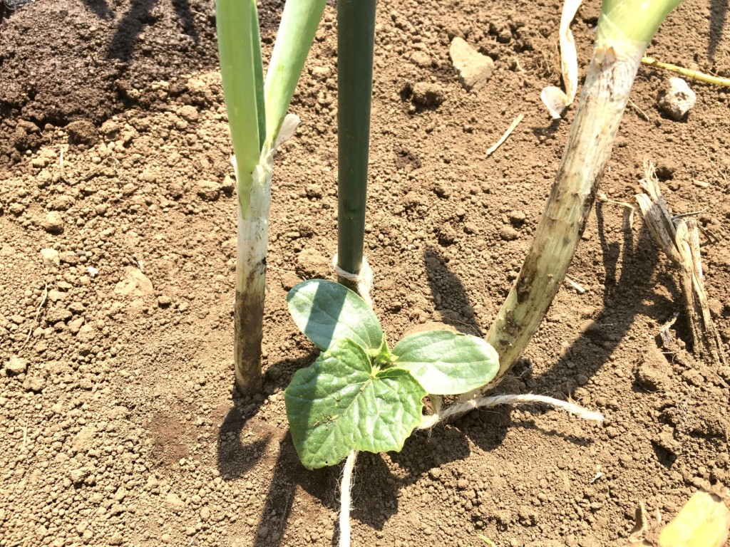 growing-cucumber-2020.4 (3)